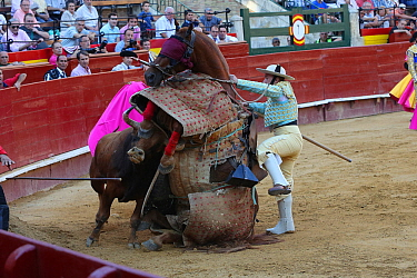 Bull flipping over horse wearing protective 'peto' padding during the first round of the bull fight,Tercio de Varasbull, Plaza de Toros, Valencia, Spain, July 2014.