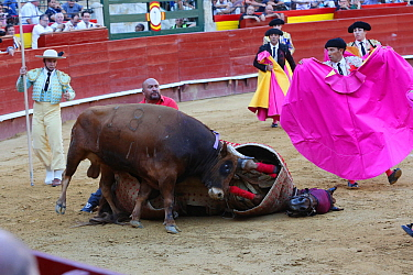 First round of bull fight, Tercio de Varas. Horse wearing protective 'peto' padding, flipped over by bull. Surrounded by Toreros. Plaza de Toros, Valencia, Spain, July 2014.