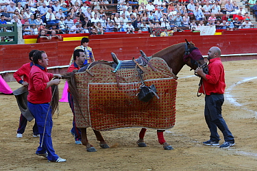 Horse wearing protective 'peto' padding during the first round of the bull fight,Tercio de Varas, Plaza de Toros, Valencia, Spain, July 2014.