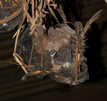 Human skulls of enemies, possibly Japanese occupation troop,s kept in ceilings of Dayak headhunters' longhouses,  Central Kalimantan,  Indonesian Borneo. June 2010.