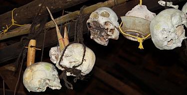 Skulls of enemies kept in ceilings of Dayak headhunters' longhouses, Kuching, Sarawark, Malaysian Borneo. July 2010.p