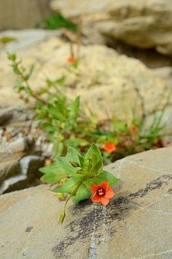 Scarlet pimpernel (Anagallis arvensis) growing on seashore at the base of a cliff, Cornwall, UK, September.
