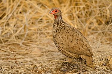 Swainson's spurfowl (Pternistis swainsonii) Kruger National Park, South Africa, July.