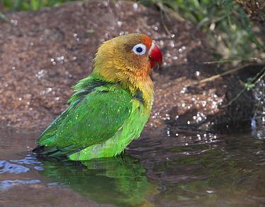 Fischer's lovebird (Agapornis fischeri) bathing, Ndutu, Ngorongoro Conservation Area, Tanzania.