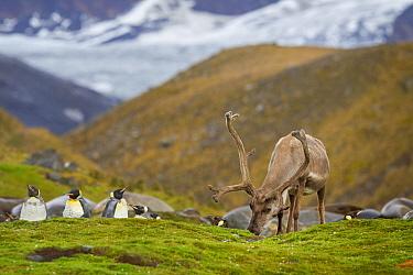 Reindeer (Rangifer tarandus) feeding amongst moulting King penguins (Aptenodytes patagonicus) on South Georgia. St Andrew's Bay, South Georgia, South Atlantic. January. Introduced species.