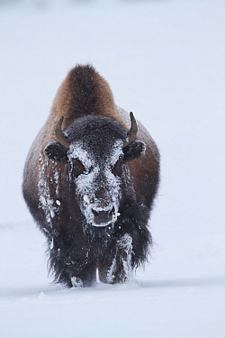 American Bison (Bison bison) in snow, Yellowstone National Park, Wyoming, January.