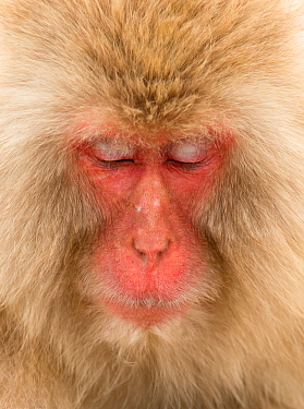 Snow monkey (Macaca fuscata) close up with eyes cast down, Nagano, Japan, February