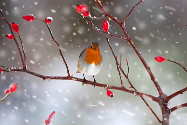 Robin (Erithacus rubecula) perched on rosehip branch during snowfall, Gimingham, Norfolk, UK, December.