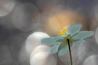 Wood Anemone (Anemone nemorosa) flower abstract, April