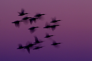 Small group of Pink-footed geese (Anser brachyrhynchus) in flight at dawn, The Wash Estuary, Norfolk, England, UK, October 2011. 2020VISION Book Plate. Did you know? Pink-footed geese are winter visit...