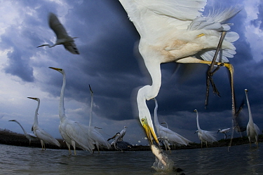 Great egret (Ardea alba) feeding on fish, Pusztaszer, Hungary, June.