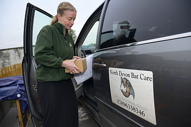 Samantha Pickering returns to the bat rescue centre at her home with a rescued Brown long-eared bat (Plecotus auritus) in a cardboard box, Barnstaple, Devon, UK, October 2015. Model released.