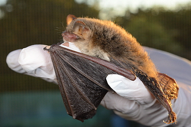 Rescued Natterer's bat (Myotis nattereri) held in a hand at dusk, having its recovery and ability to fly tested in a flight cage before release back to the wild, North Devon Bat Care, Barnstaple,...