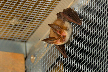 Rescued Brown long-eared bat (Plecotus auritus) resting in a flight cage after landing, having its recovery and ability to capture insects on the wing tested before release back to the wild,North Devo...