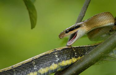 Taiwan beautiful / Cave racer snake (Elaphe taeniura) on branch in defensive pose, Fanjingshan National Nature Reserve, Guizhou Province, China.