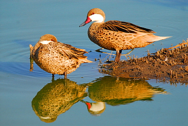 White-cheeked pintail (Anas bahamensis) two resting by water, La Pampa, Argentina