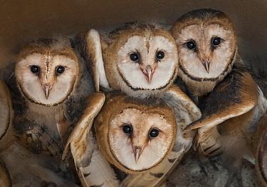 Barn owl (Tyto alba) four chicks in nest, La Pampa, Argentina