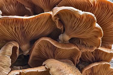 Honey fungus (Armillaria borealis) growing on dead birch, Sherwood Forest, Nottinghamshire, UK October