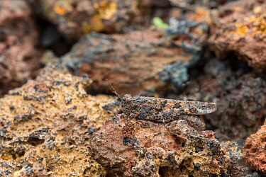 Canarian band-winged grasshopper (Oedipoda canariensis) camouflaged on lava, Punta de Teno, Tenerife, Canary Islands, March
