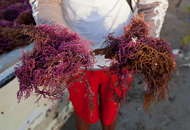 Agar seaweed (Eucheuma cottonii) seaweed grown commercially on long lines in the shallow waters off southern Sulawesi, Indonesia. It is used in the production of agar / carrageenan, important products...