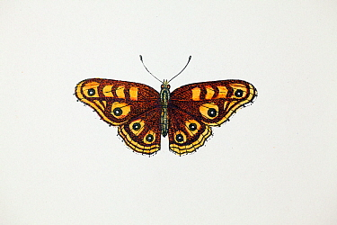 Albin's Hampstead eye butterfly (Junonia villida) illustration from from 'A History of British Butterflies' by the Rev. Francis Orpen Morris, published in London 1853. Only one specimen was ever recor...