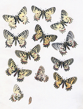 Illustrations of Southern, Eastern and Spanish Festoon butterfly (Zerynthia spp.) by an unidentified European Artist, 1875.
