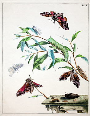 Illustration of Eyed hawk moth (Sphinx occelata) and White ermine moth (Spilosoma lubricipeda) and food plant, from the  Aurelian by Moses Harris, 1776.