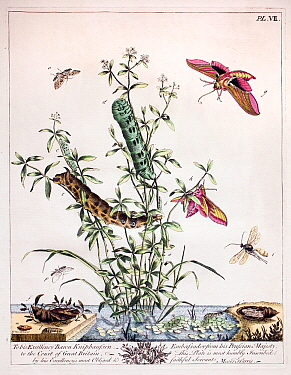 Historical illustration of  Large elephant hawk moth (Deilephila elpenor) and Small elephant hawk moths (Deilephila porcellus) Plate VII in the first edition of the Aurelian by Moses Harris, 1766.