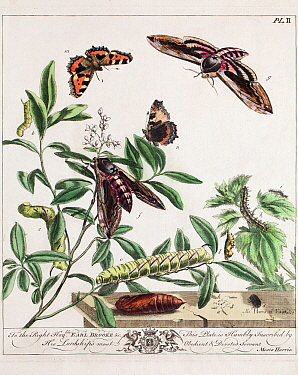 Historical illustration of Privet hawkmoth (Sphinx ligustri), and Small tortoiseshell butterfly (Aglais urticae) showing 'aurelian' chrysalis. Plate II in the first edition of the Aurelian by Moses Ha...