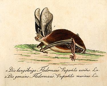 Long eared bat (Plecotus sp.)  with original hand colour, from Bechstein 'Getreue Abbildungen Naturhistorischer', 1796.