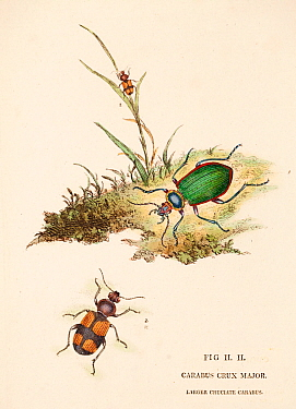 Illustration of Greater crucifix beetle (Panagaeus cruxmajor) from  Donovan's 'Natural History of British Insects', circa 1806.