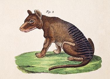 Thylacine (Thylacinus cynocephalus) plate from F.J. Beruch 'Bilderbuch fur Kinder' 1821.