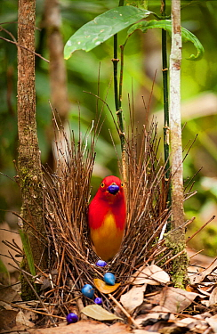 Flame bowerbird (Sericulus aureus) male decorating bower with berries tp attract females, Papua New Guinea.