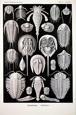 Illustration of Trilobites ' Aspidonia' from Ernst Haeckel's Kunstformen der Natur published 1899-1904