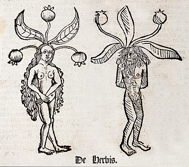 Woodblock illustration of Mandrake (Mandragora) from two pages of the Ortus (Hortus) sanitatis - translated from the Latin as 'Garden of Health' by Jacob Meydenbach, 1491. He describes plants and anim...