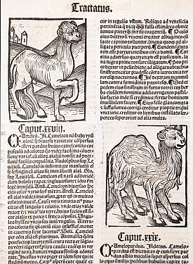 Woodblock illustration of Camels from Ortus (Hortus) Sanitatis 1491  - translated from the latin as 'Garden of Health'. This is the first printed illustration of a camel in literature. The Hortus was...