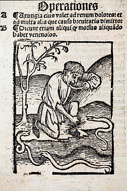 1491 Woodblock illustration of a from Ortus (Hortus) sanitatis - man taking a cure for snake bite. Hortus Sanitatis translates from the Latin as 'Garden of Health'. The Hortus was the first printed na...