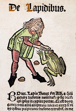 1491 Woodblock illustration of from Ortus (Hortus) sanitatis - translated from the Latin as 'Garden of Health'. Shows an apothecary removing a toad stone bezoar from a large toad's 'third eye'. Toad s...