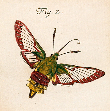 Illustration of adult Broad bordered bee hawk moth (Hemaris fuciformis) copperplate art by August Johann Roesel von Rosenhof, from his work I'nsect Amusements' 1744. August