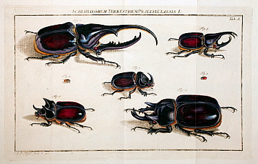 Illustration of various large rhinoceros beetles (Dynastinae) by August Johann Rosel von Rosenhof, from his works published in 'Insecten' 1762