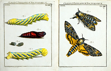 Illustration of Death's head hawkmoth (caterpillars, pupa and imago (adult) copperplate art by August Johann Roesel von Rosenhof, 1744.