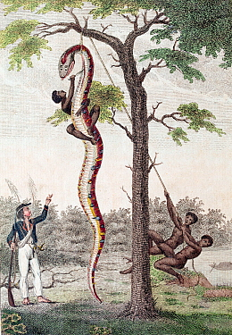 Illustration 'Skinning of the Aboma Snake', J. G. Stedman, Narrative (1796), the plate designed by Stedman and originally engraved by Blake shows slaves in Surinam skinning an anaconda while Stedman l...