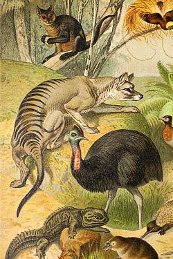 Australasian fauna by Gustav Mutzel, 1892 - published in 'Meyer's Conversations Lexicon' of 1902. Including a Thylacine (Thylacinus cynocephalus), Cassowary (Casuarius), Echidna (Tachyglossidae), Duck...