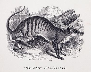 Illustration of  extinct Thylacine (Thylacinus cynocephalus) by the French naturalist and physician Jean-Emmanuel-Marie Le Maout (1799-1877), published in Les Trois Regnes de la Nature, 1853.
