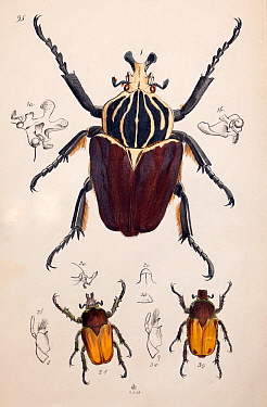 Illustration of Goliath Beetle (Goliathus goliatus) and Chafer beetles, from Arcana entomologica, or, Illustrations of new, rare, and interesting insects by J.O. Westwood, 1845