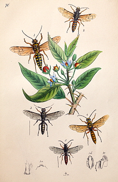 Illustration of Hornets and Wasps, from Arcana entomologica, or, Illustrations of new, rare, and interesting insects by J.O. Westwood, 1845.