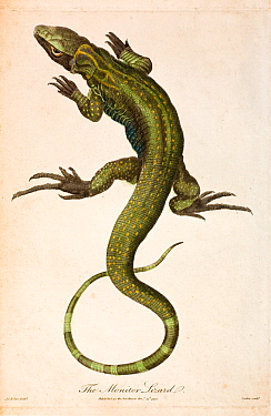 Illustration of Monitor lizard (Lacerta monitor)  now known as the Nile monitor (Varanus niloticus) from J. Frid Gmelin and Carl Linnaeus (posthumous). 'A Genuine and Universal System of Natural Histo...