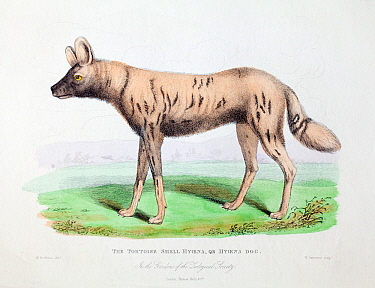 Illustration of African hunting dog (Lycaon pictus) profile, from W. Berthoud delt. W. Panormo sculp. from 'The wonders of the animal kingdom'. London, T. Kelly, 1830. This image is described as 'Tort...