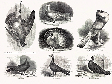 Composite of original line drawings from Darwin's 'Variation in Animals and Plants under Domestication' 1868. The ancestral form, the rock pigeon hangs up dead to the left while some of the many varie...