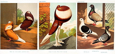 Three illustrations from Cassell's Pigeon Book, 1874 showing domestic pigeons: Red and Yellow Jacobin, Red-pied pouter cock with crop inflated, and Shield, Hyacinth and Suabian.